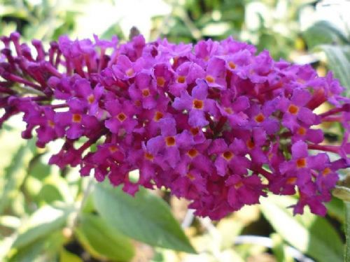 Buddleja Miss Ruby 3 Litre